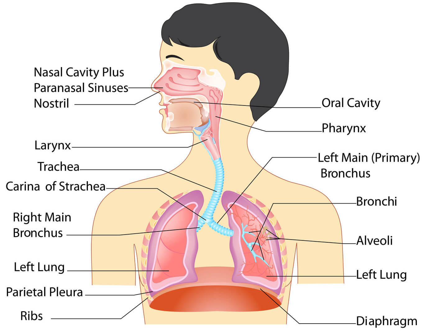Anatomy of the respiratory system ccuart